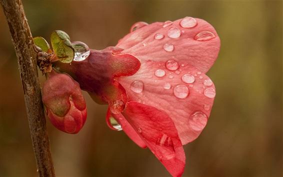 Wallpaper Water drops, spring, pink flowers, twig