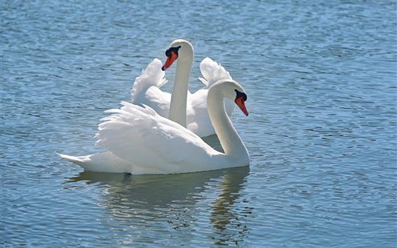 배경 화면 하얀 백조, 물, 호수
