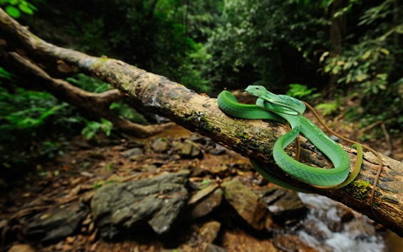 Wallpaper Wildlife, green snake, tree, stream