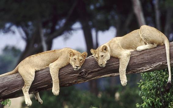 Wallpaper Wildlife lions, tree, Africa