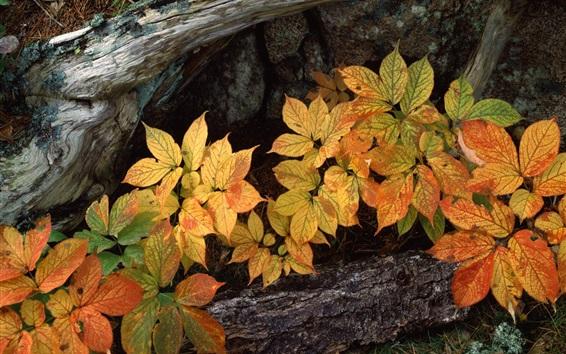 Обои Желтые листья, дерево, трава, природа растения