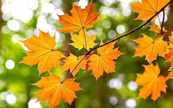 Обои Желтые листья клена, осень, боке