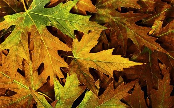 Обои Желтые листья клена крупным планом, осень