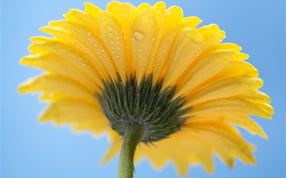 Wallpaper Yellow petals flower, gerbera, back view, dew