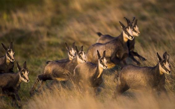 Обои Группа оленями, луговые