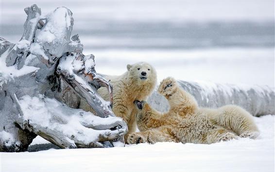 Обои Аляска, белые медведи, обманка, белый снег