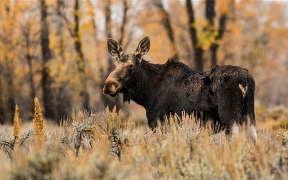 Wallpaper Animal moose in autumn, rain, grass