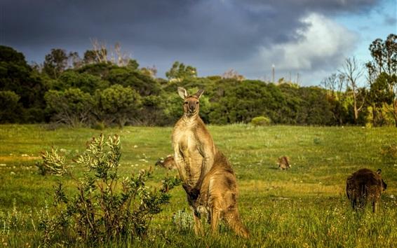 Wallpaper Australia, kangaroo, grass, animals