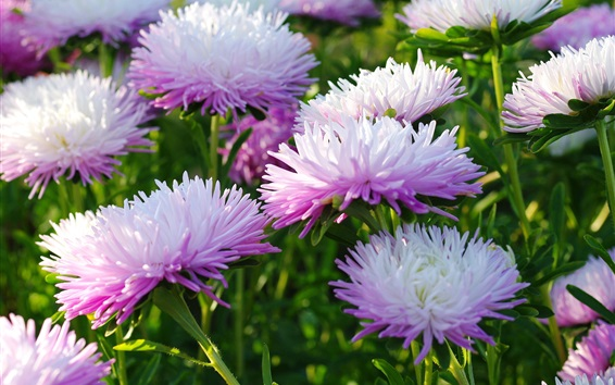 Wallpaper Autumn flowers, asters