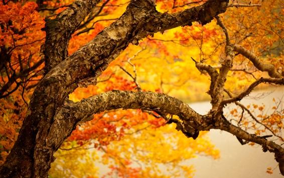 Wallpaper Autumn tree trunk, yellow leaves