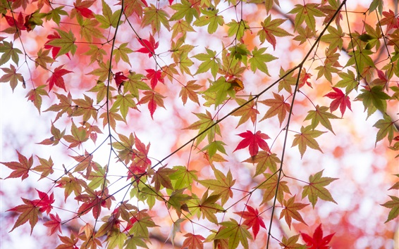 Wallpaper Autumn, twigs, maple leaves, green and red