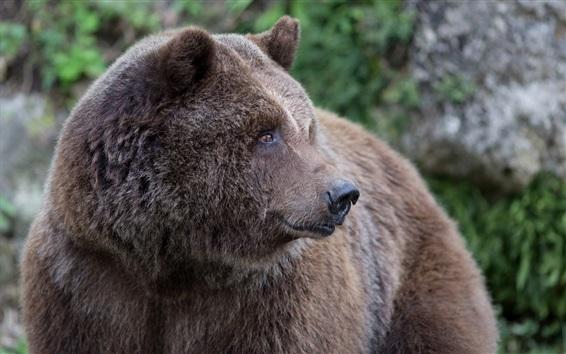 Обои Медведь оглянуться назад