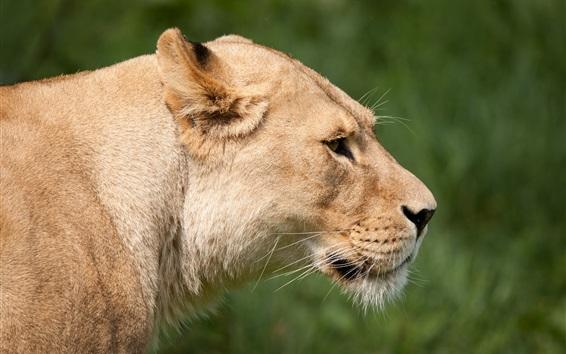Papéis de Parede Grande, gato, leoa, rosto
