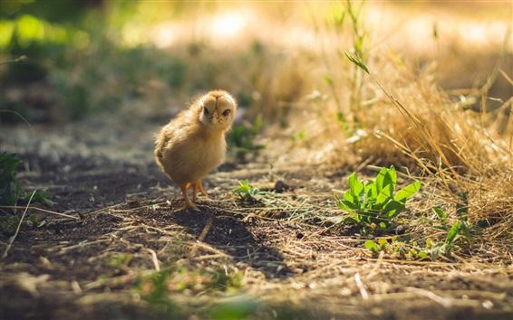Обои Птица, курица, земля, солнечные лучи