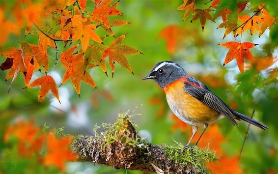 Papéis de Parede Pássaro, outono, maple, folhas, galhos