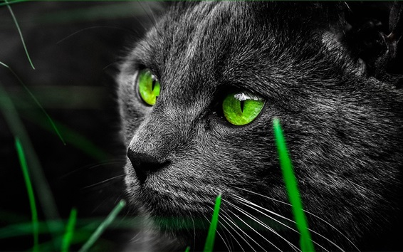 Wallpaper Black cat face, green color eyes