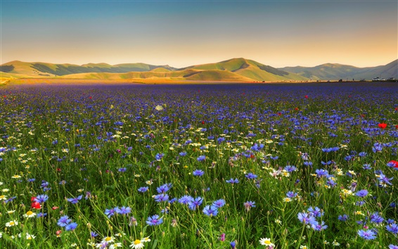 Wallpaper Blue and white flowers, chamomile, cornflowers, hills