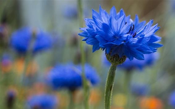 Papéis de Parede Flor azul do cornflower