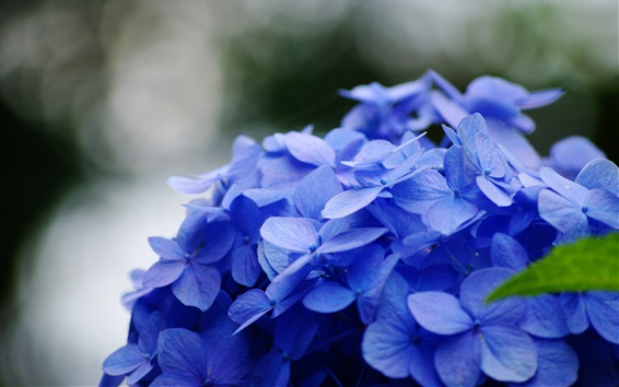 Wallpaper Blue hydrangea flowers