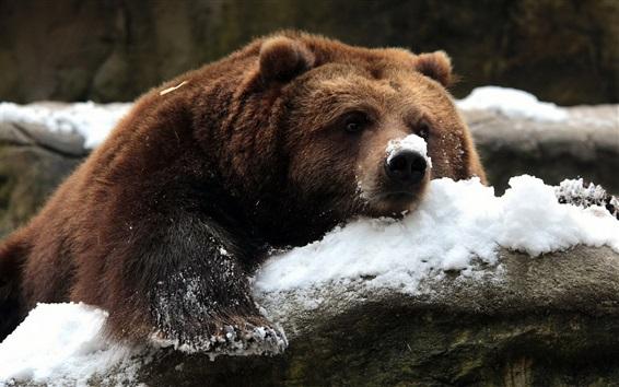 壁紙 冬の茶色の熊、雪