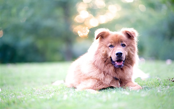 Wallpaper Brown dog in the grass