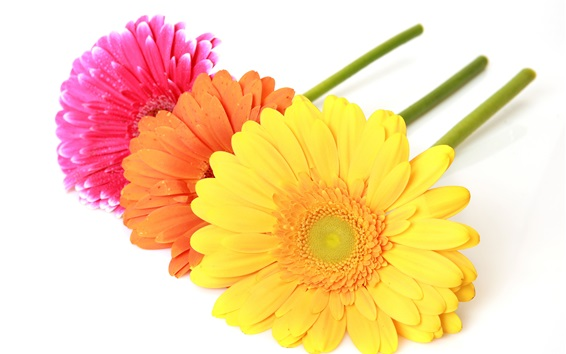 Wallpaper Colorful gerbera flowers, white background