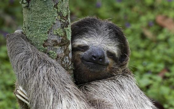 Обои Коста-Рика животных, млекопитающих, леность, дерево