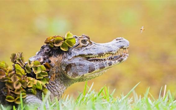 Fond d'écran Crocodile, herbe