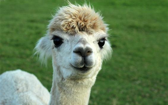 Papéis de Parede Alpaca animal bonito
