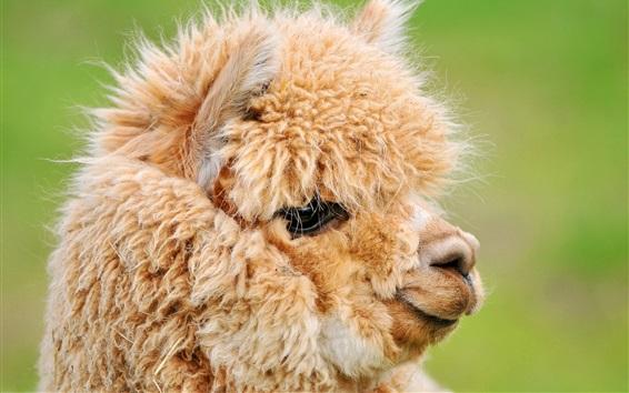 Papéis de Parede Cute marrom alpaca, cabeça, rosto