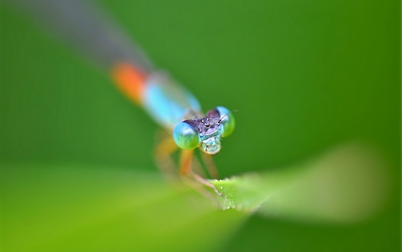 Wallpaper Dragonfly macro photography, insect, leaves, dew