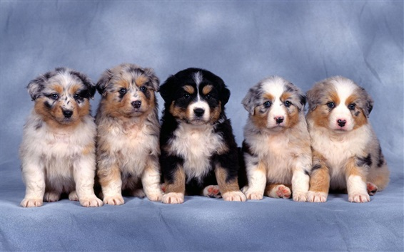 Обои Пять маленьких овчарки, пушистые щенки