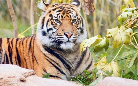 壁紙 森の王、虎