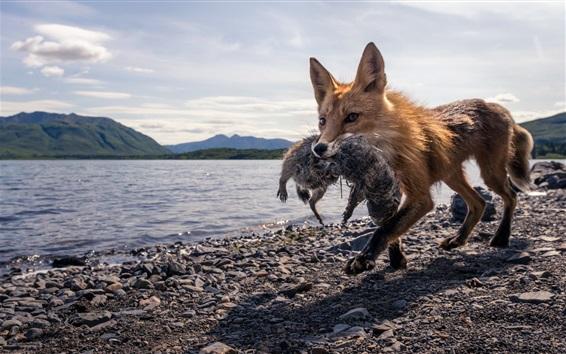배경 화면 여우 사냥, 호수, 돌