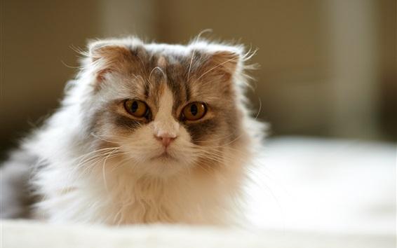 Wallpaper Furry kitten, home pet