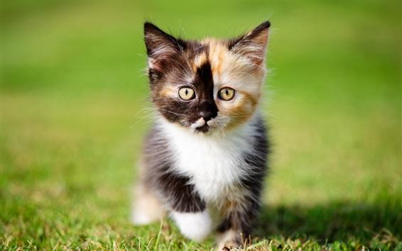 Обои Пушистый котенок, три цвета, трава