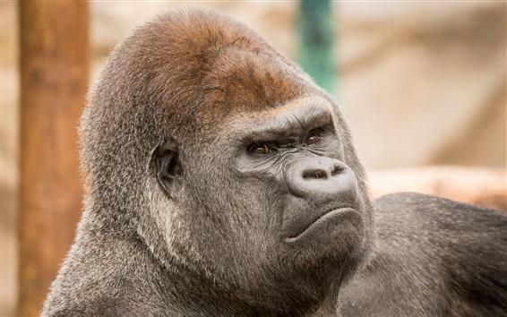 Wallpaper Gorilla head close-up