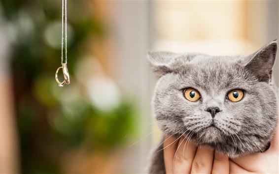 Wallpaper Gray cat look at rings