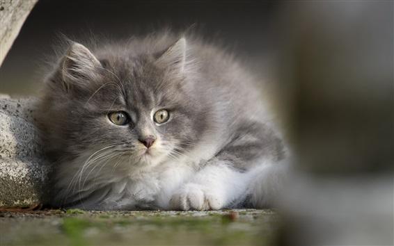 Обои Серый пушистый котенок взгляд