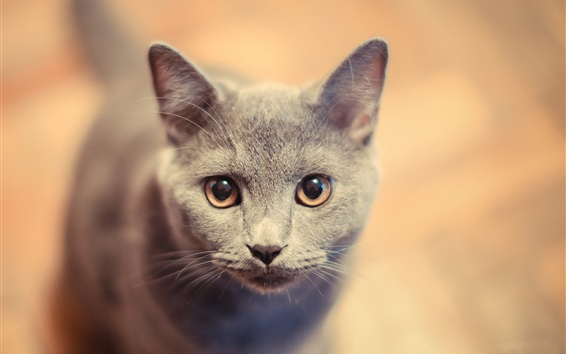 Wallpaper Gray kitty face