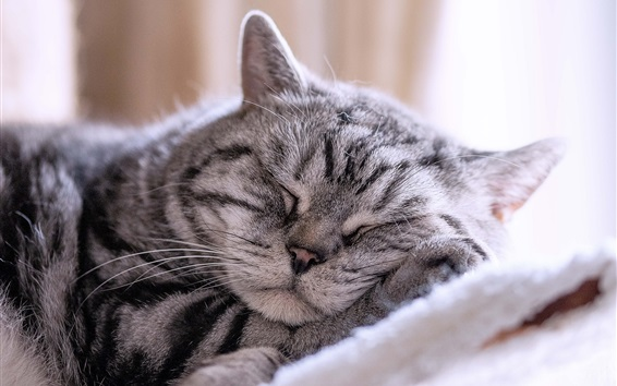 Wallpaper Gray striped cat sleeping