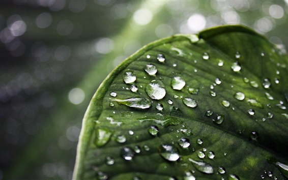 Wallpaper Green leaf macro photography, water droplets