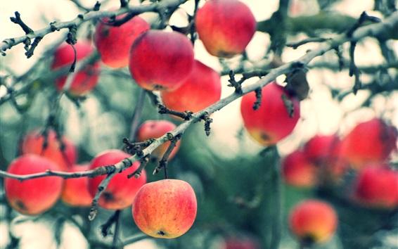 Обои Урожай яблок, дерево, веточки