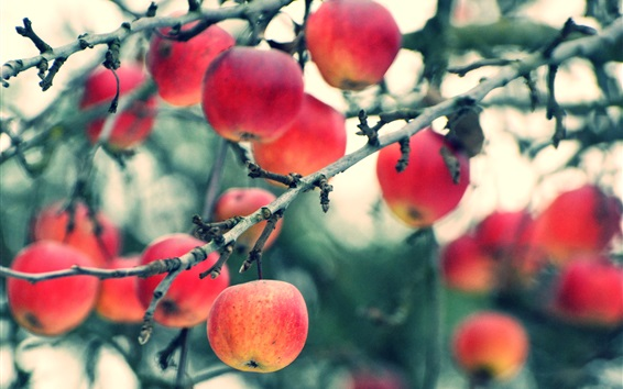 Fondos de pantalla Cosecha de manzanas, árboles, ramitas