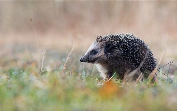 Wallpaper Hedgehog in grass