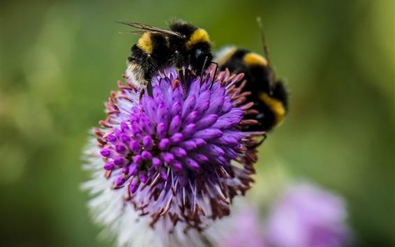 배경 화면 곤충, 꿀벌, 꽃