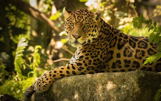 Wallpaper Jaguar rest, stones, forest