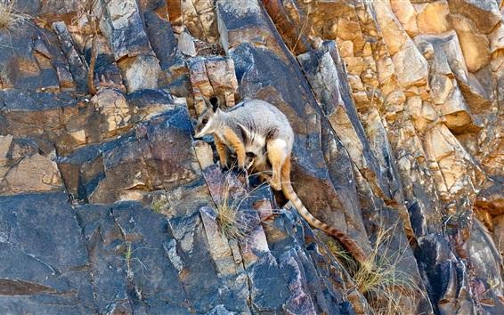 Papéis de Parede Canguru, escalando, penhasco