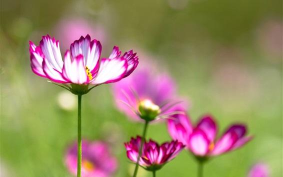 Обои Kosmeya цветы, фиолетовые белые лепестки