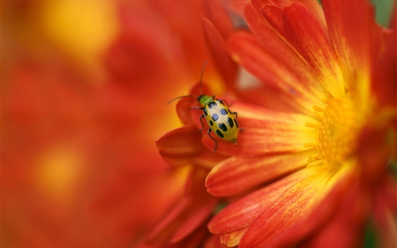 Wallpaper Ladybug on orange flower petals
